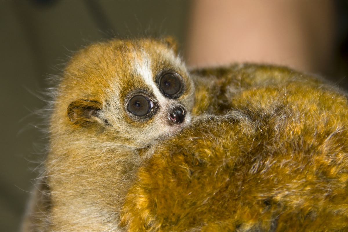 baby slow loris, deadly baby animals