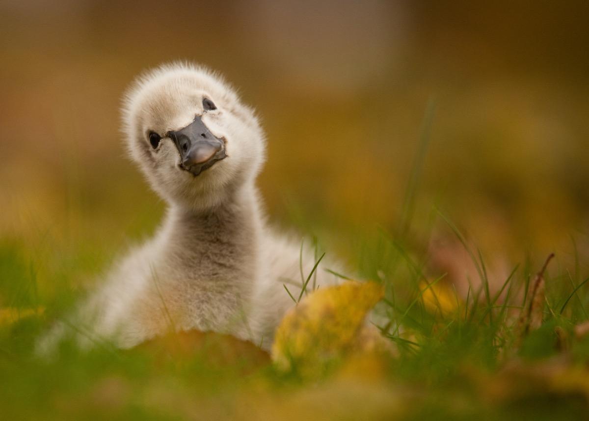 baby black swan in leaves, dangerous baby animals