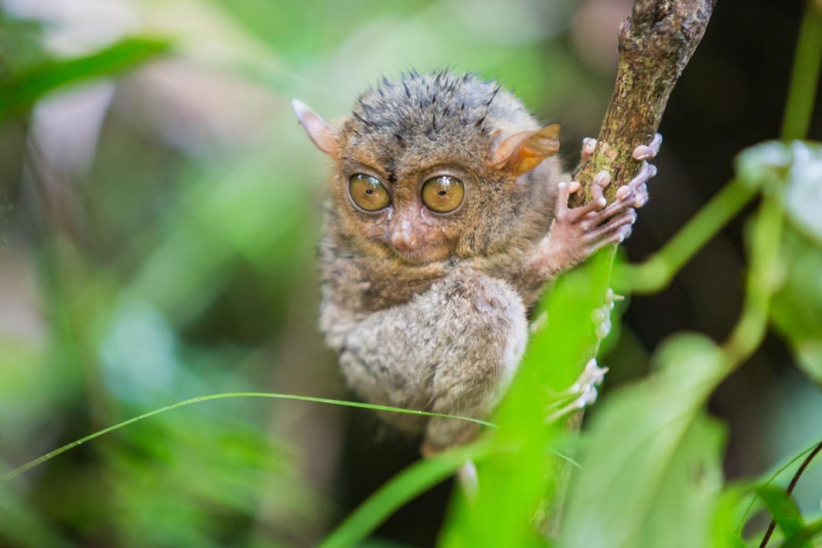 baby tarsier in the trees rainforest, dangerous baby animals