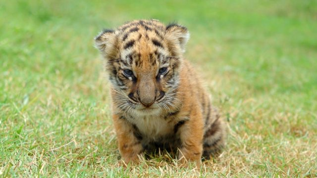 baby tiger in the grass, dangerous baby animals