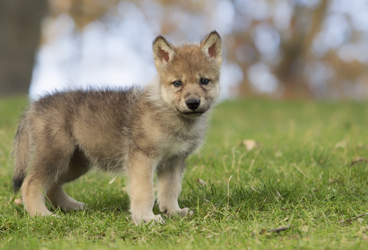 young grey wolf pup baby, standing on a hillside, dangerous baby animals