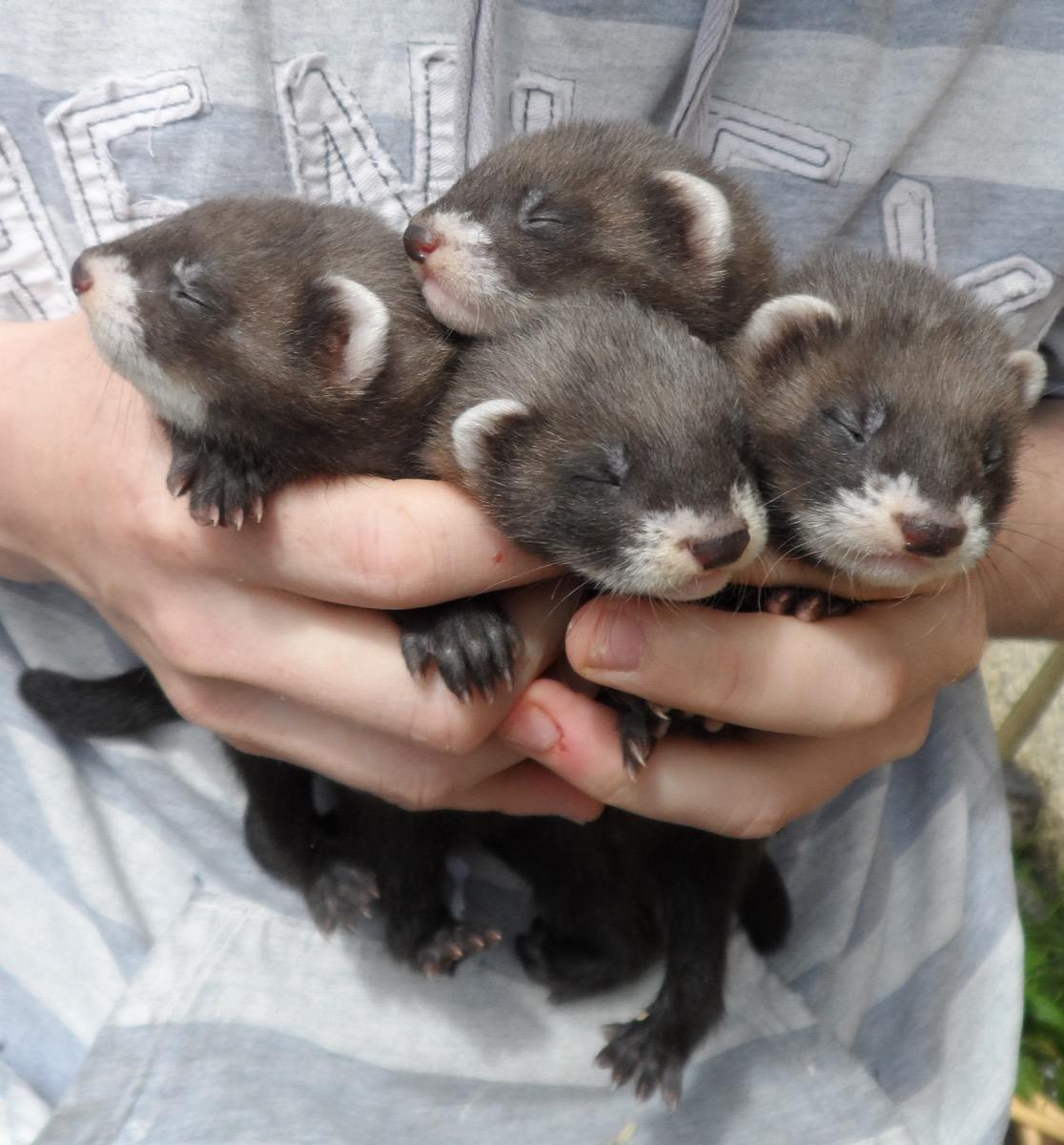 baby wolverine ferrets, dangerous baby animals