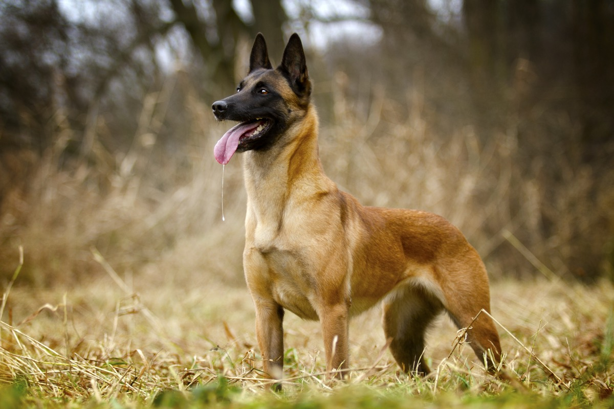 belgian malinois dog standing in the field, top dog breeds