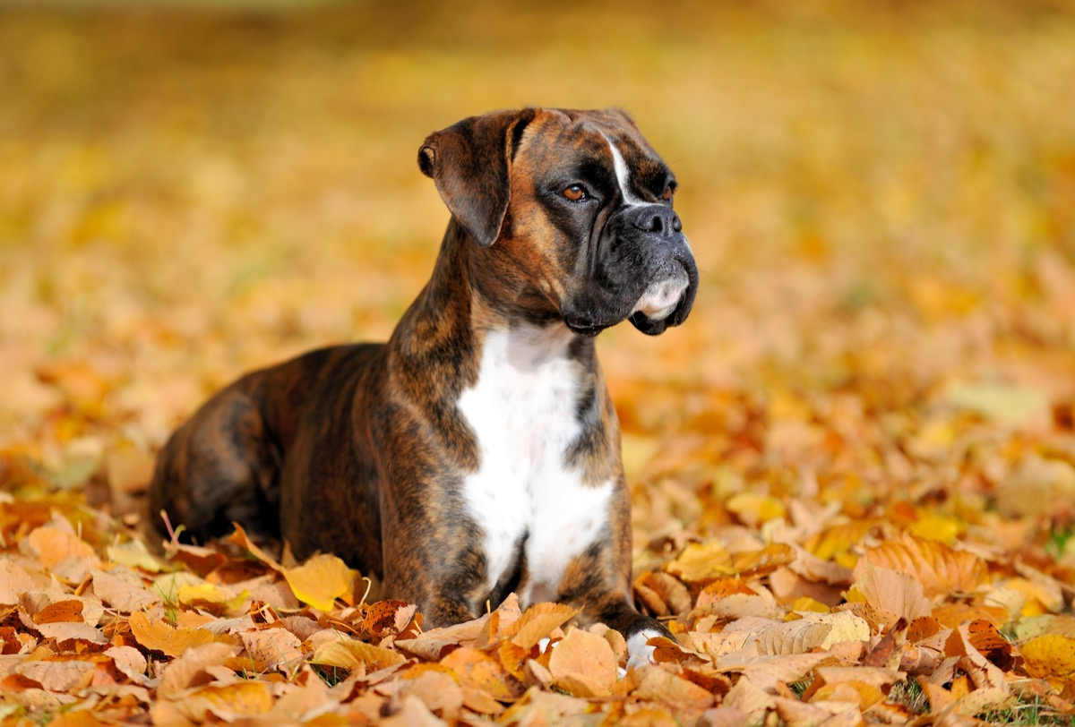 boxer dog in leaves, top dog breeds