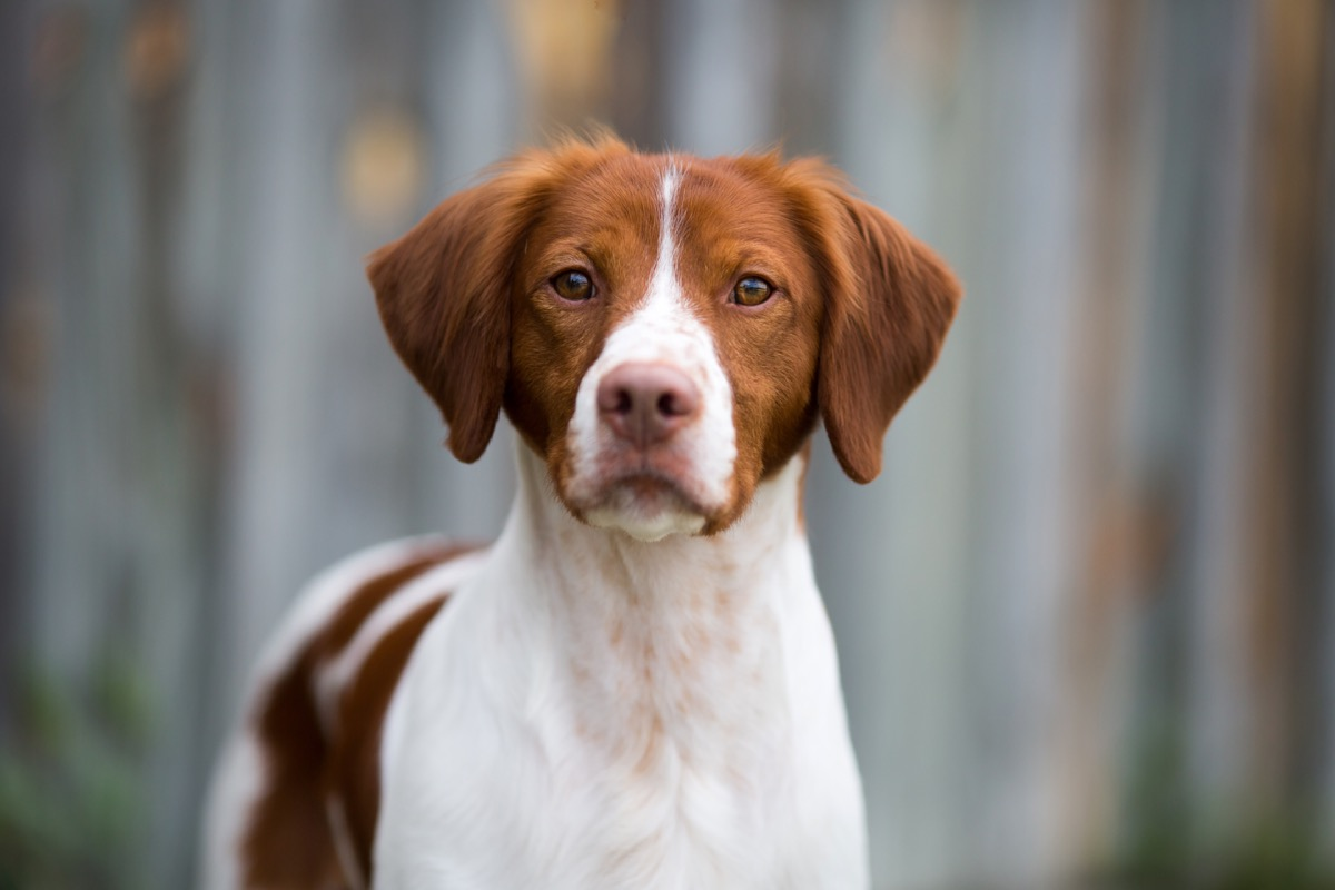 brittany dog looking at camera, top dog breeds
