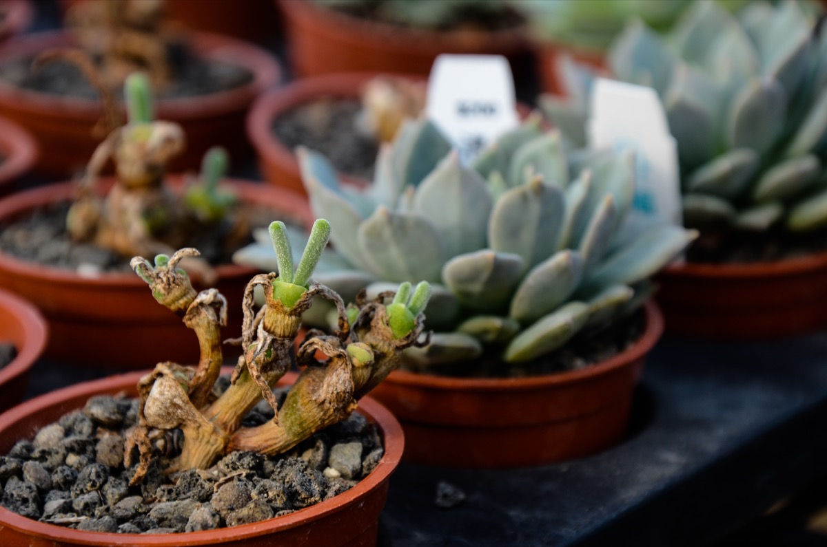 succulent plants Potted plants, gardening Monilaria obconica - Image