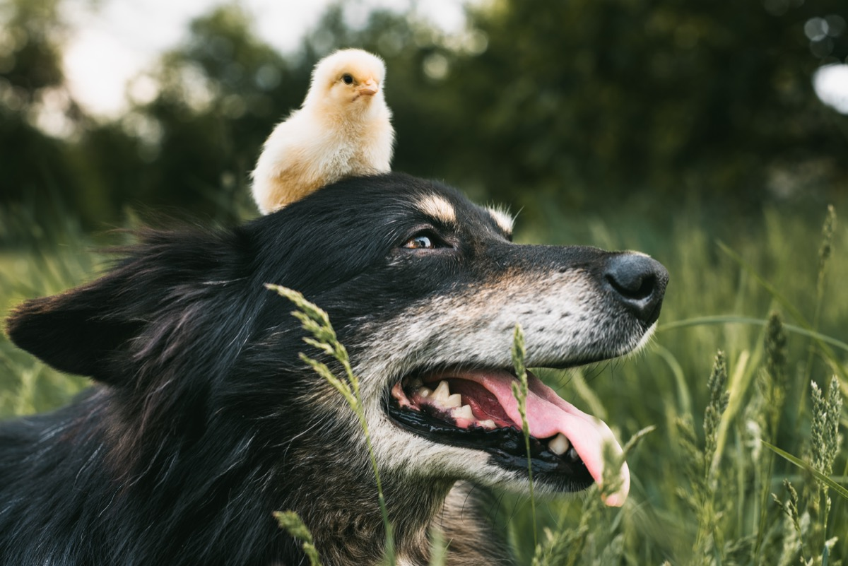 chick and a dog hanging out