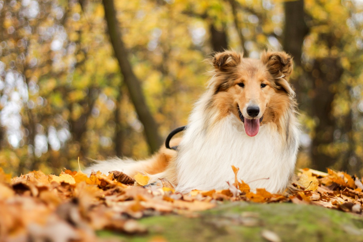 collie in the leaves, top dog breeds
