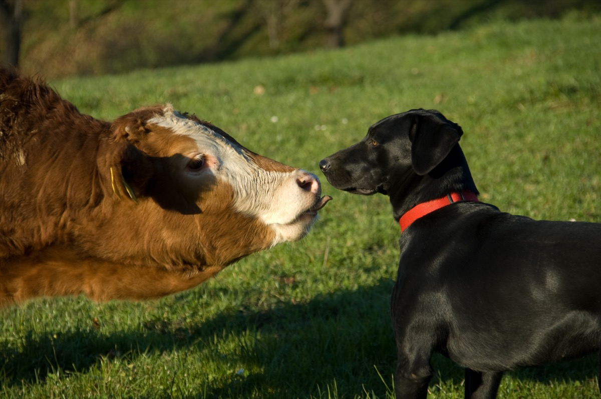 cow licking dog on his nose