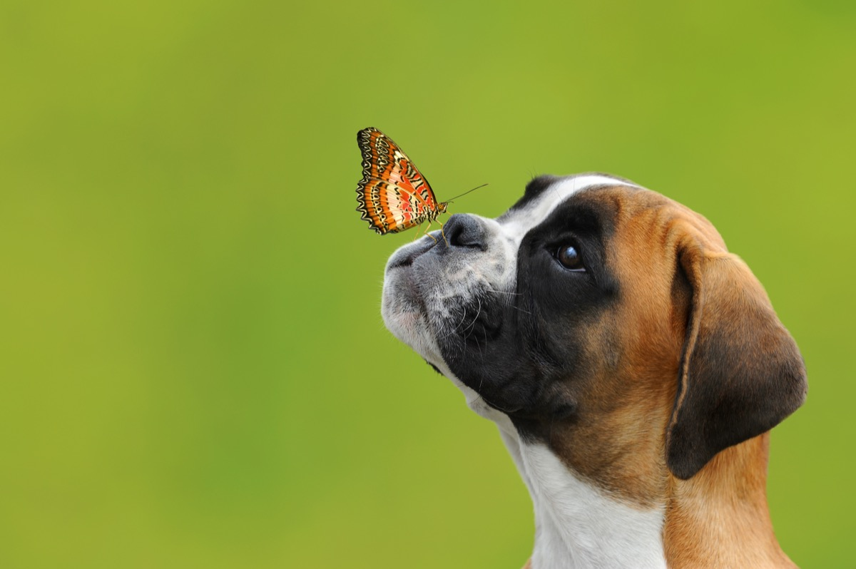 dog and a butterfly flying towards him