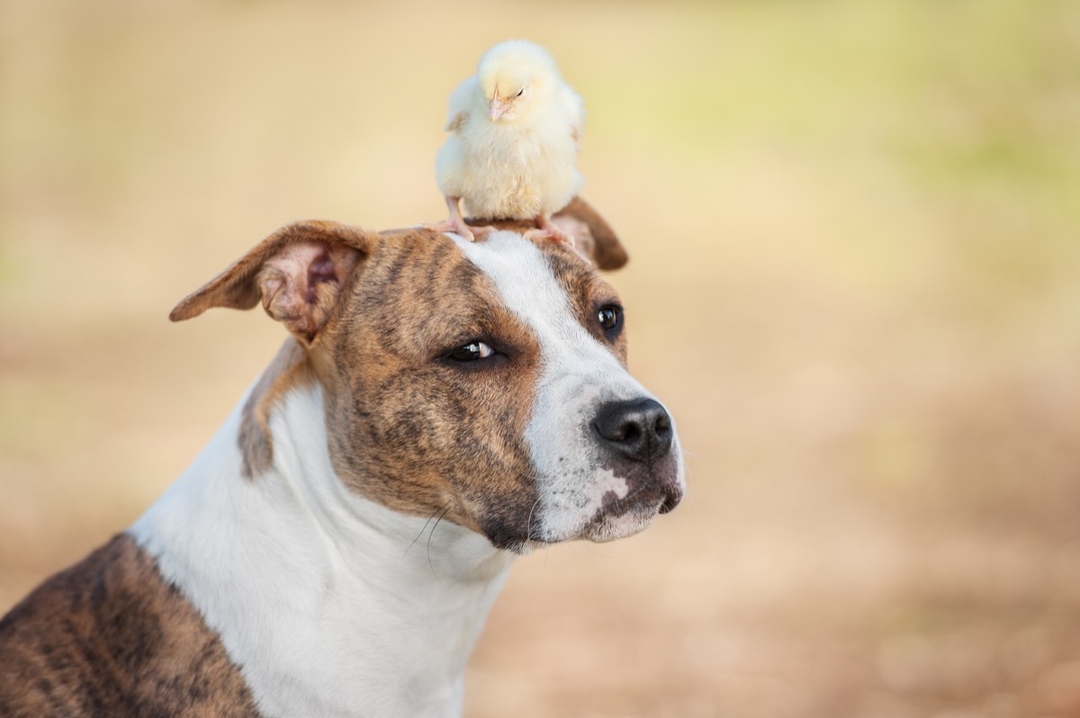 chick sitting on a dog's head