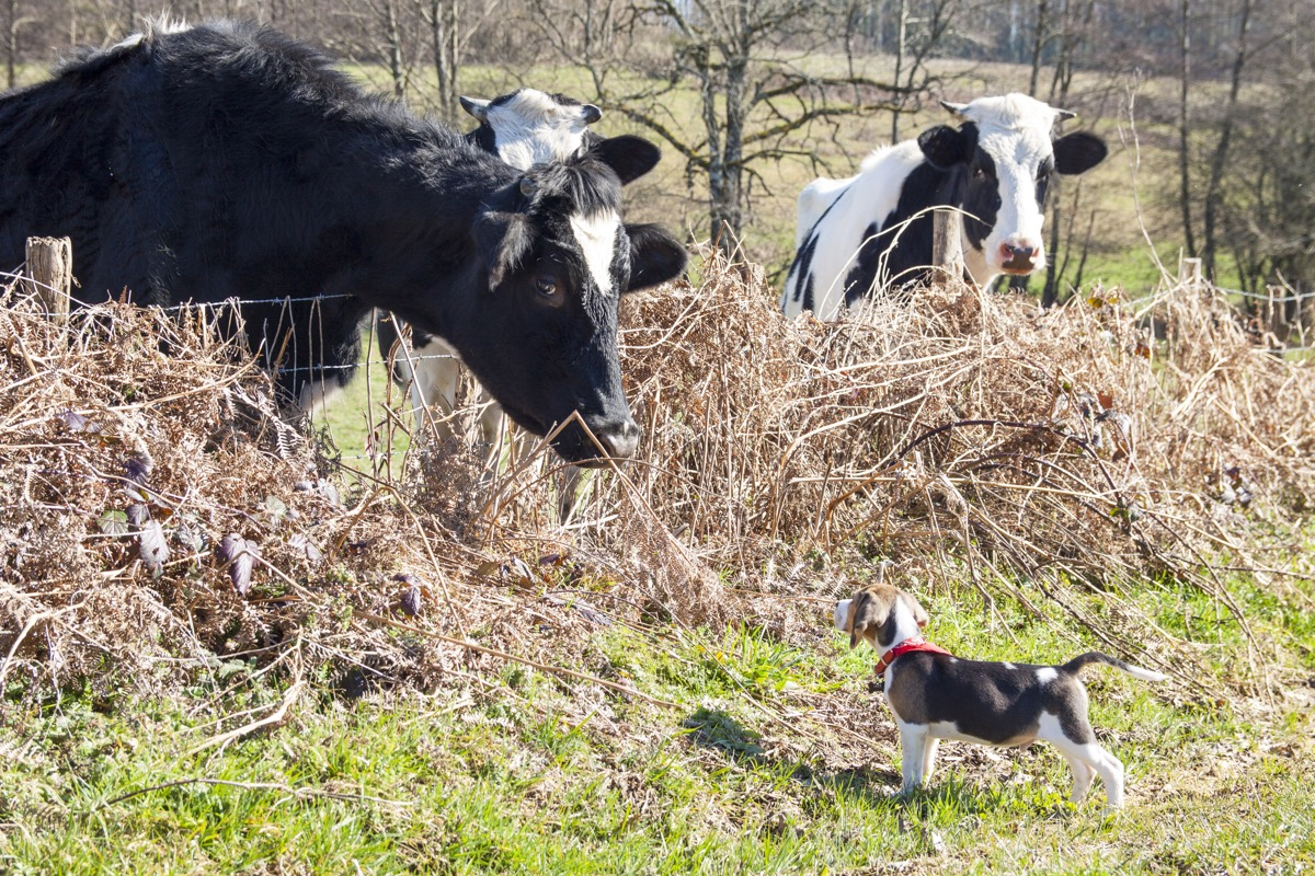 dog and cow hanging out together in fields