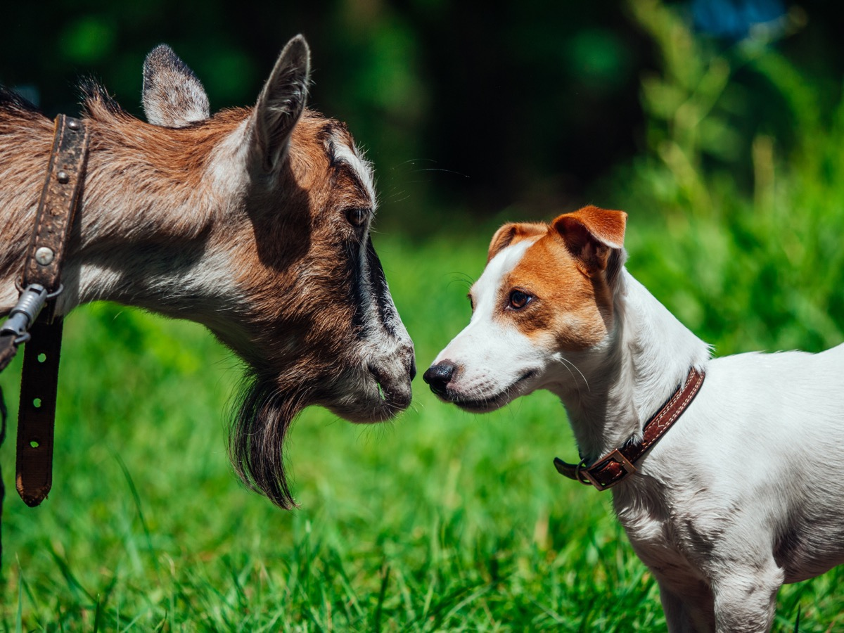 dog and goat locked in eye contact with each other