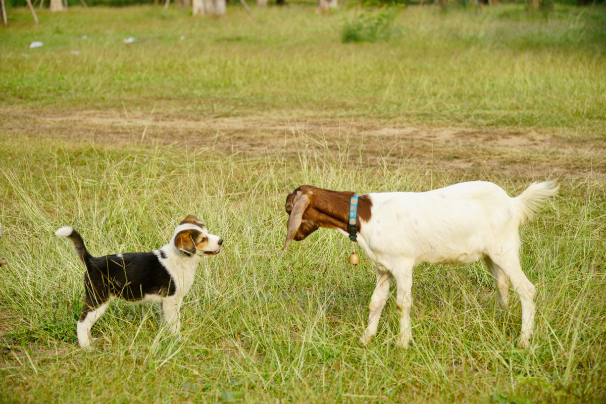 dog and goat standing in a field together