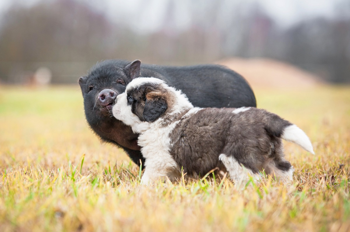 dog and pig in the grass together