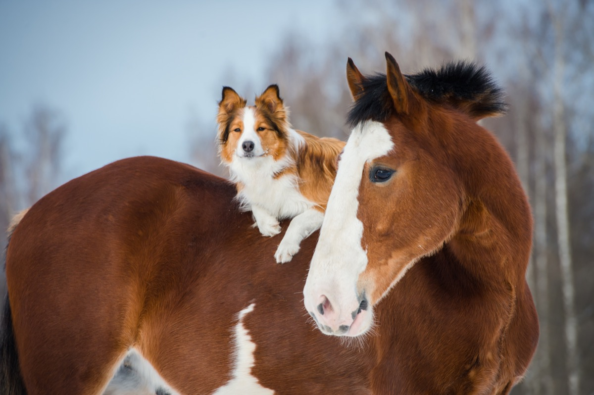 dog riding on a horse's back
