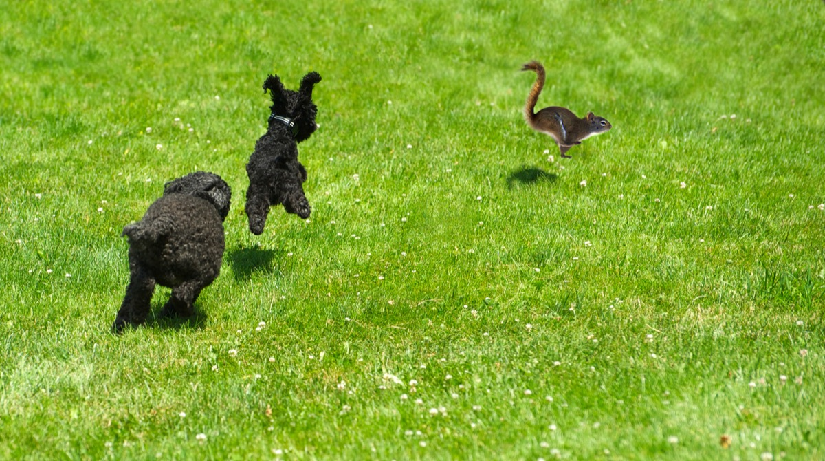 dogs just hopping alongside a squirrel