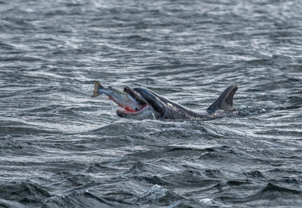 dolphin catching salmon amazing dolphin photos