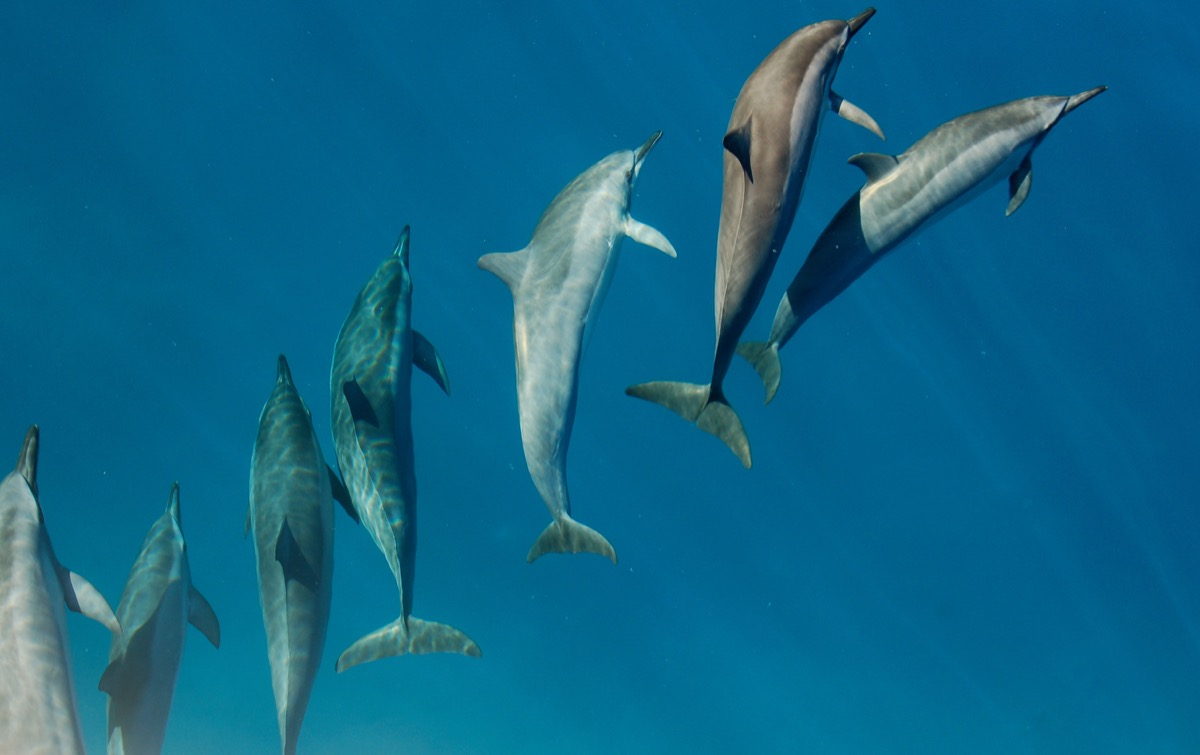 dolphins swimming in pack amazing dolphin photos