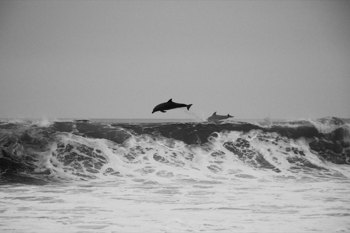 dolphins jumping over wave amazing dolphin photos