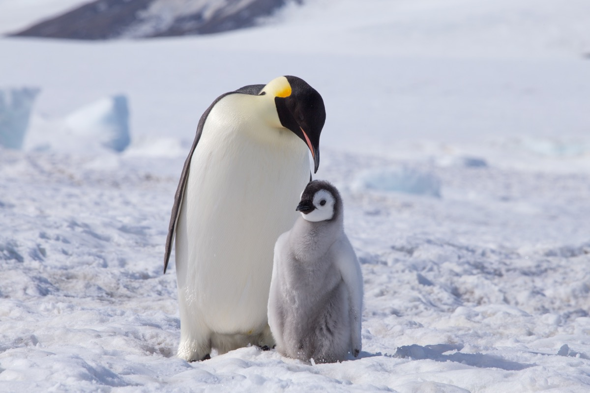 Emperor penguin with baby chick photos of wild penguins
