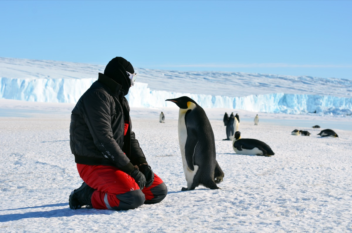 Emperor penguin and researcher at progress station, antarctica photos of wild penguins