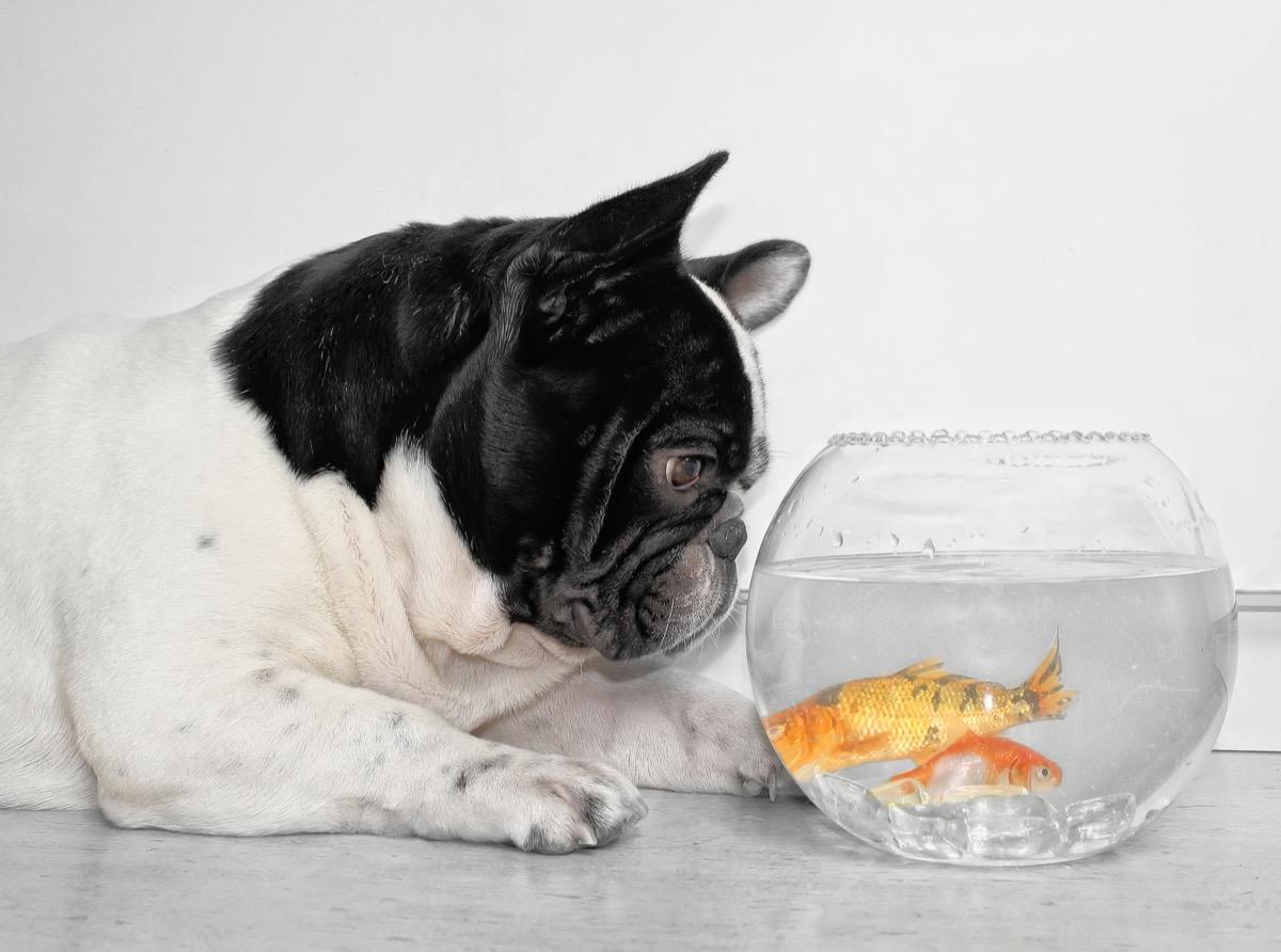 dog looking at a fishbowl