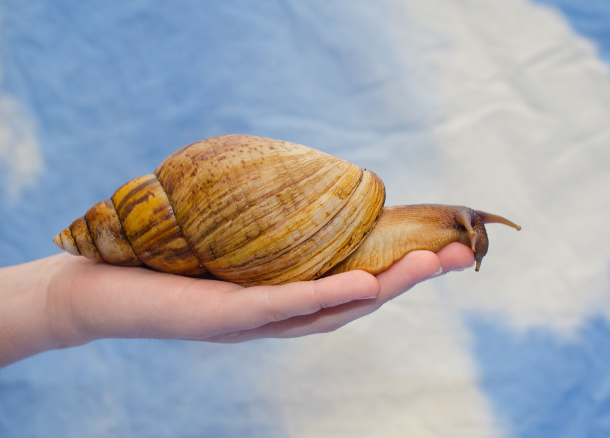 giant african land snail in florida, hard state facts