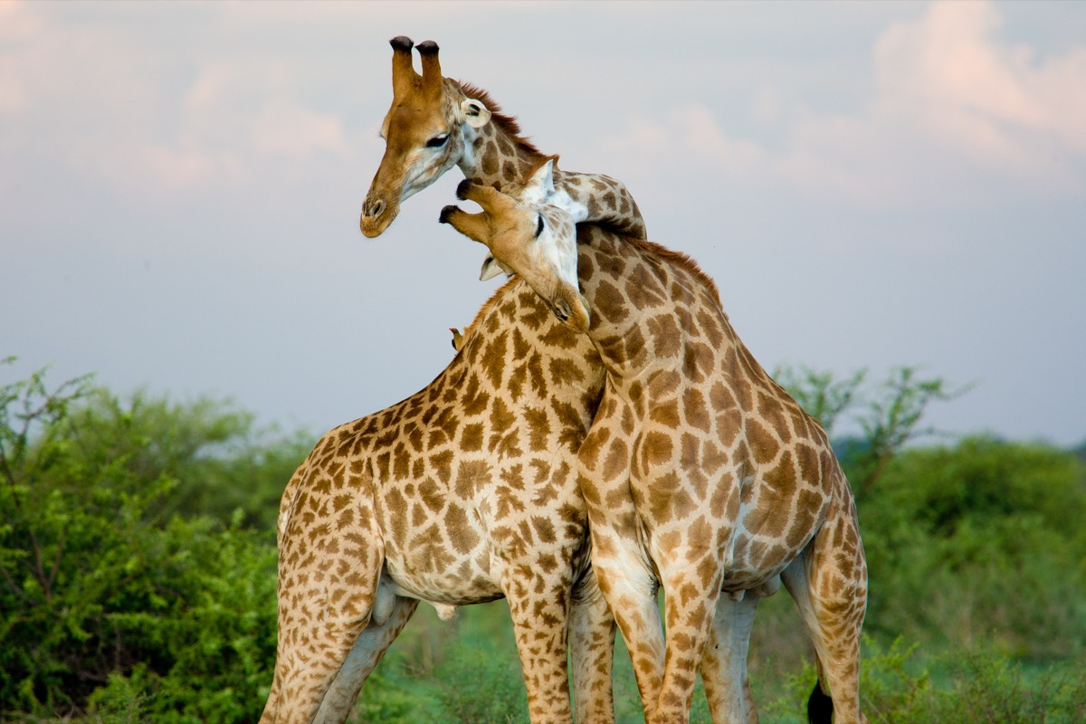 giraffes in love animals in love