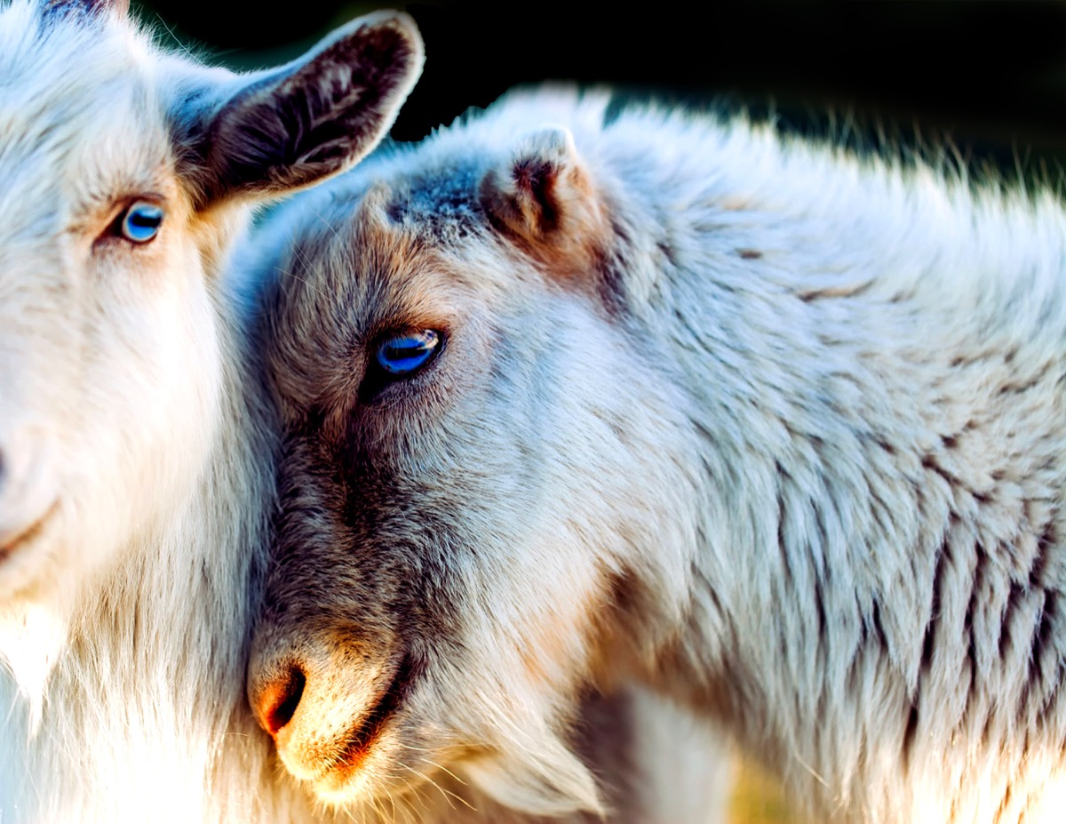 goats in love animals in love