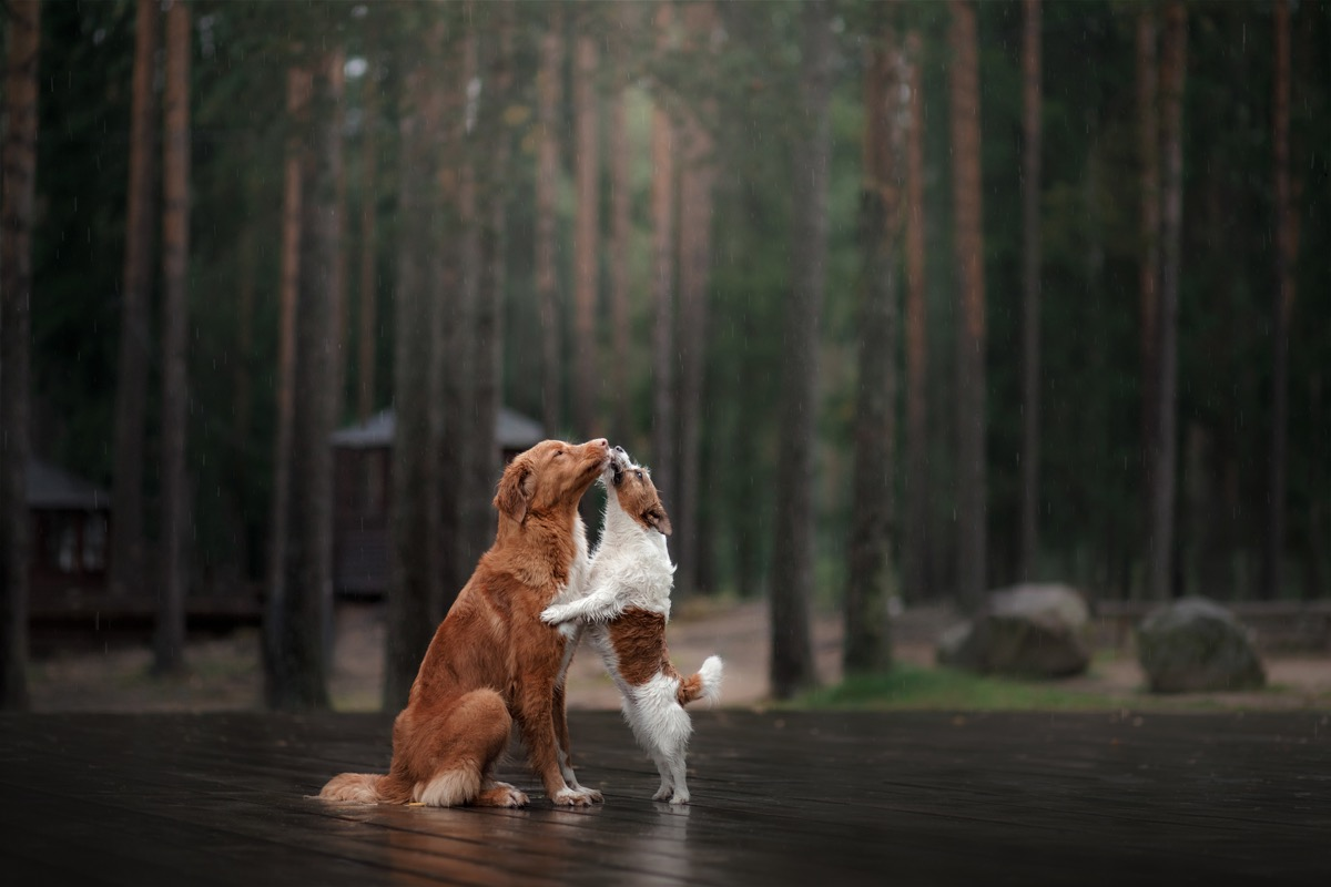 jack russell terrier and nova scotia duck tolling retriever in love animals in love