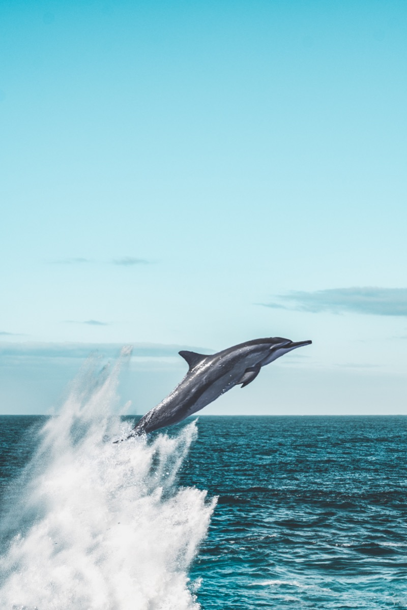 A Dolphin Jumping Out of the Water