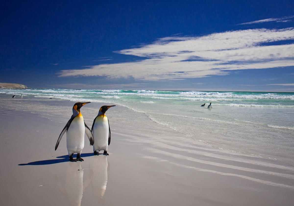 king penguins in love animals in love