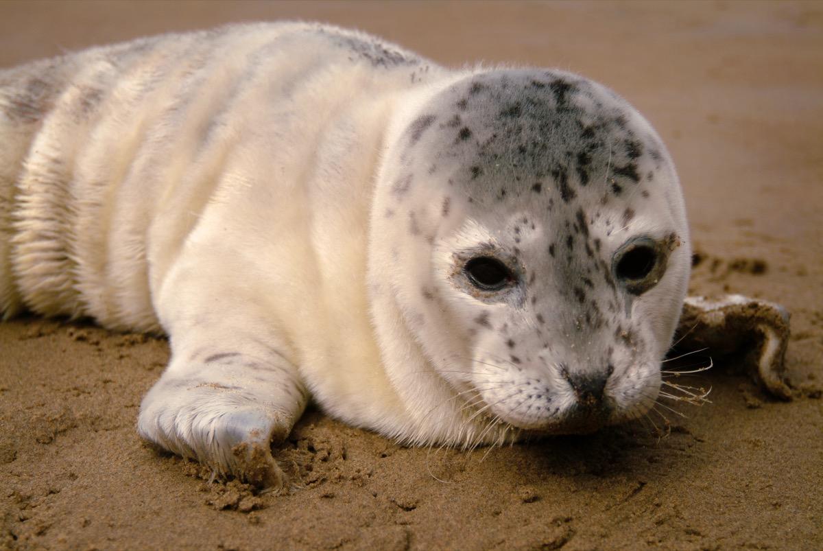 baby leopard seal, dangerous baby animals
