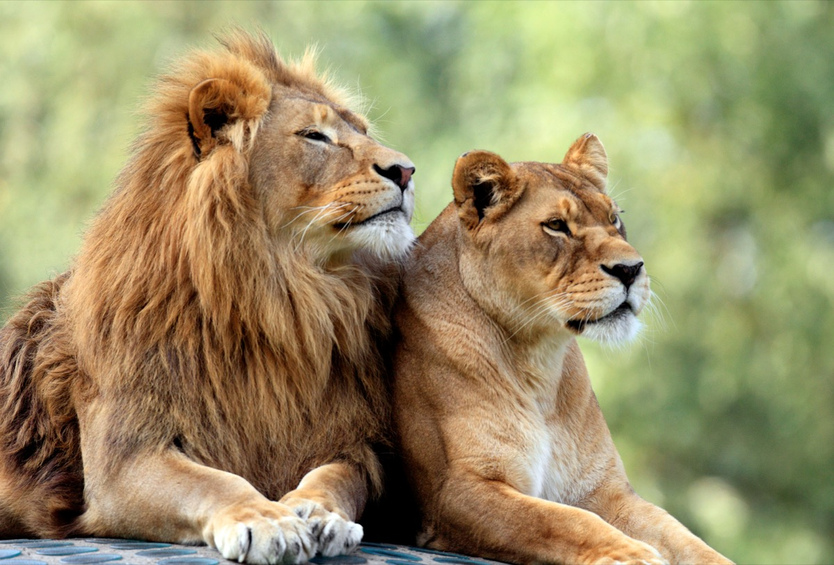 lion and lioness resting animals in love