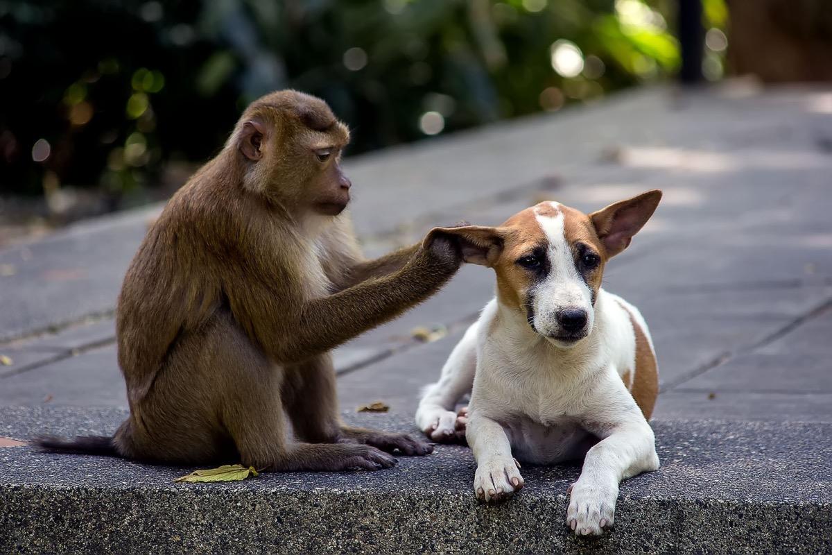 monkey touching dogs ear