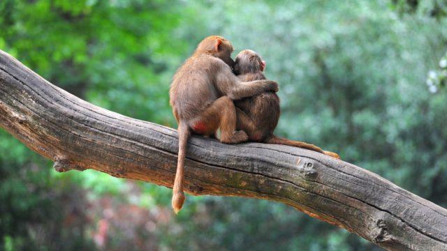 monkeys in love animals in love