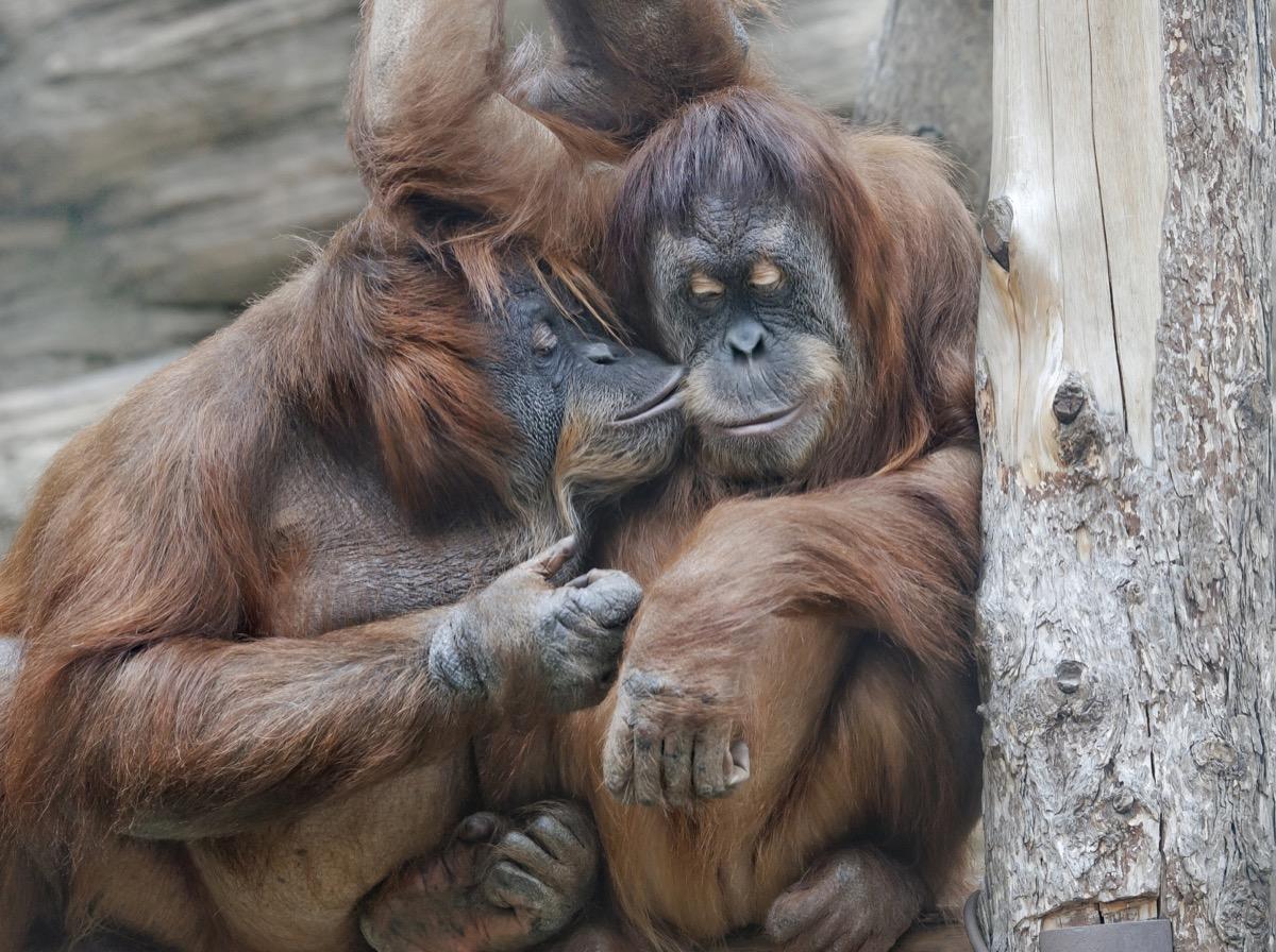 orangutans sharing a kiss animals in love