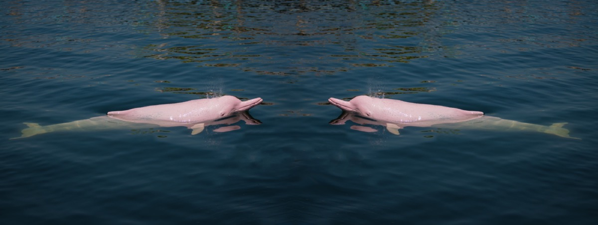 pink dolphins in ocean amazing dolphin photos