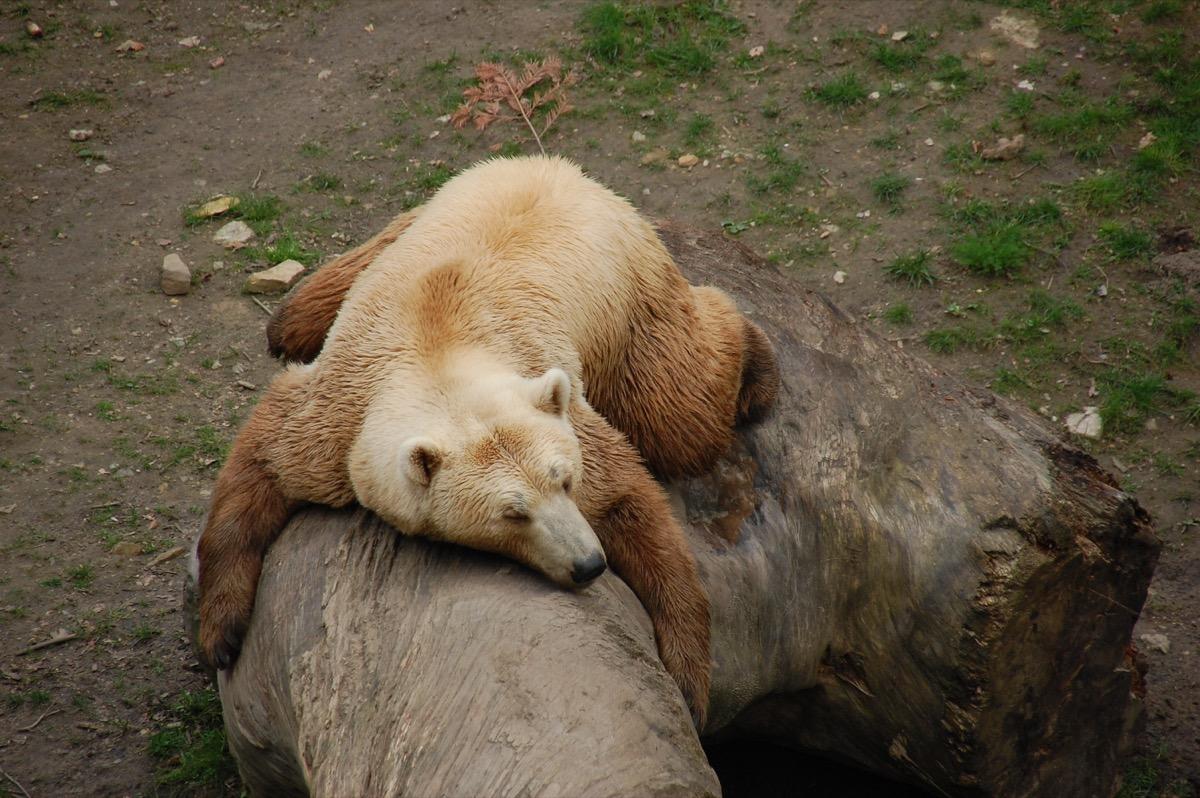 hybrid bear zoo - Image grizzly bear and polar bear