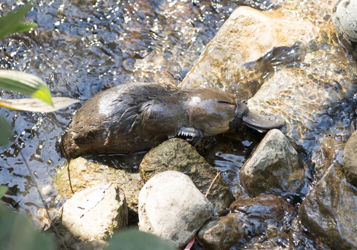 baby platypus swimming in tasmanian creek, dangerous baby animals