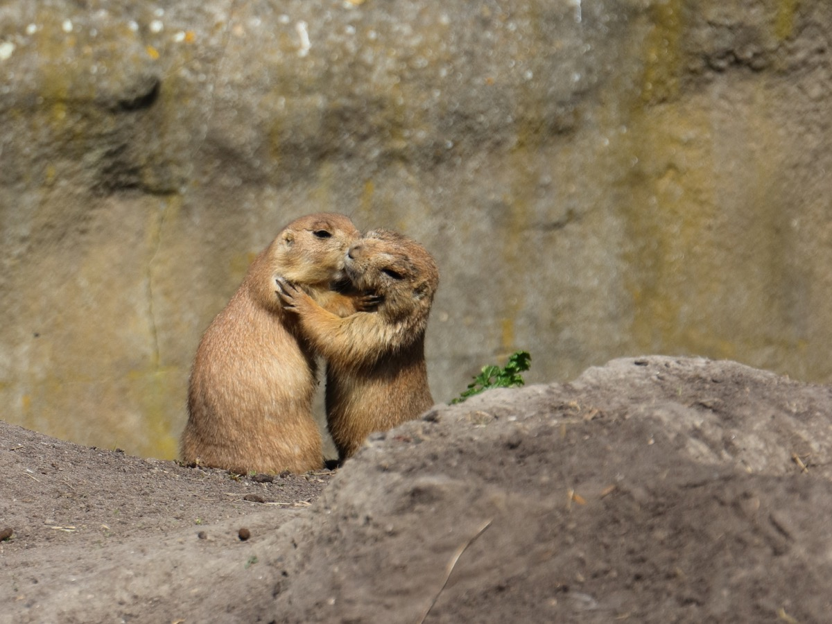prairie dogs hugging and kissing animals in love