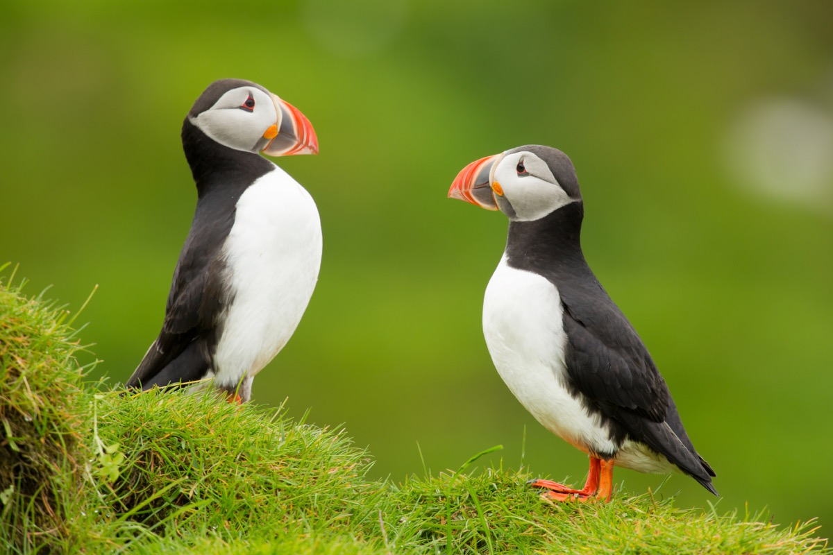 Atlantic puffin , also known as the common puffin, is a species of seabird in the auk family. his puffin has a black crown and back, pale grey cheek patches and white underparts. - Image