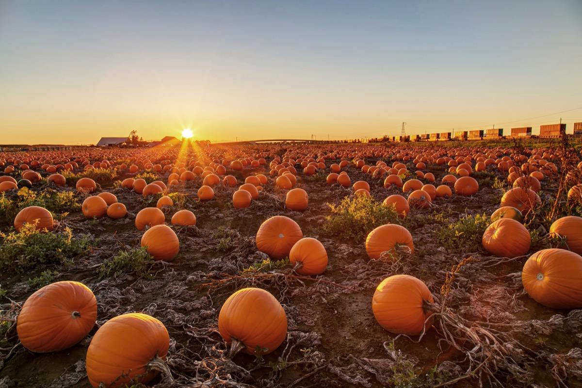 Pumpkin patch at sunset