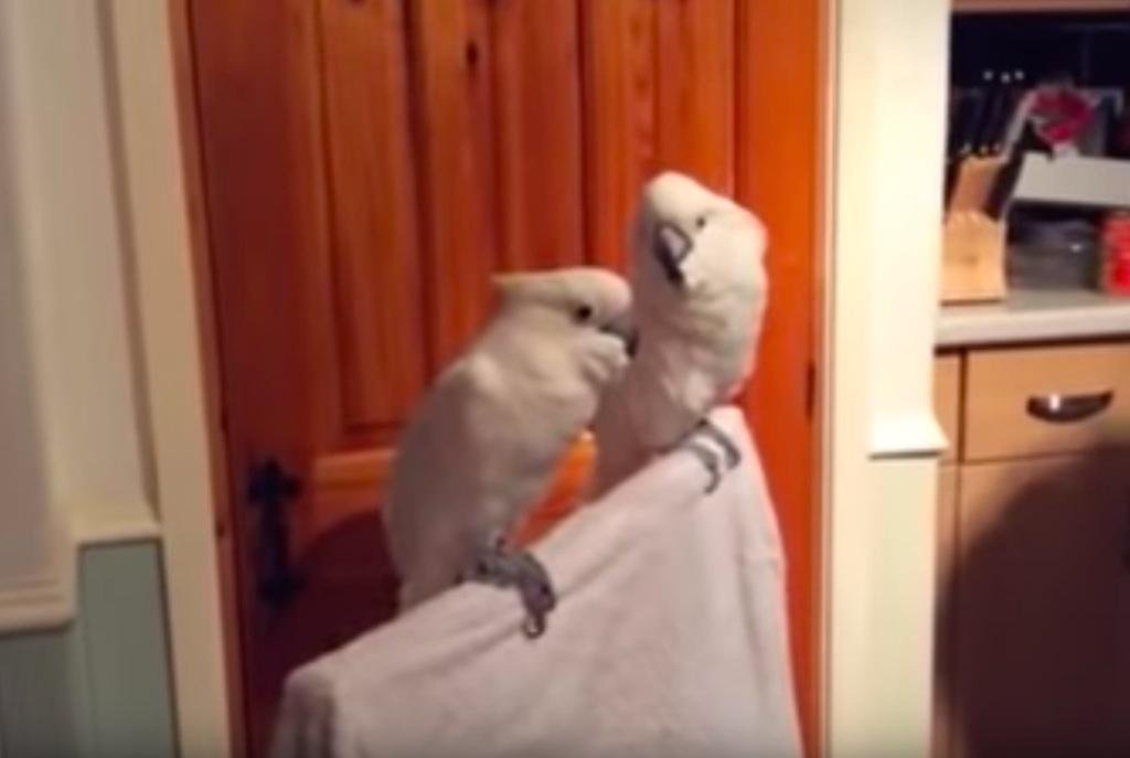 viral elvis cockatoo video