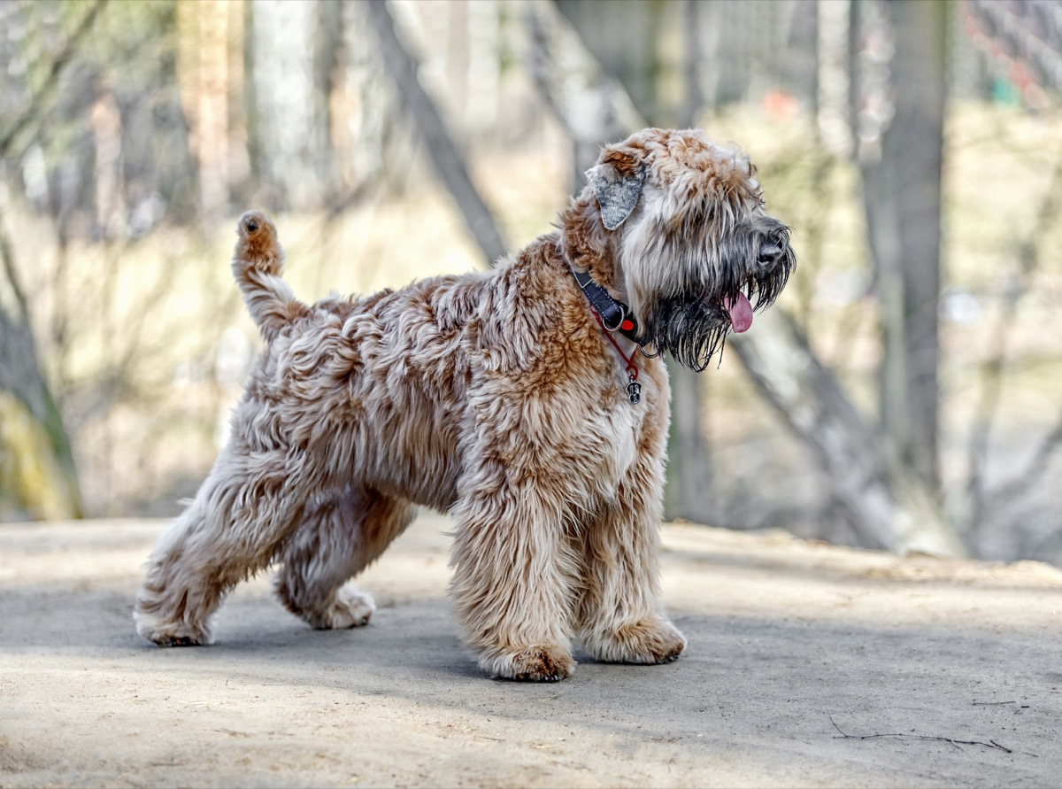 soft coated wheaten terrier dog, top dog breeds