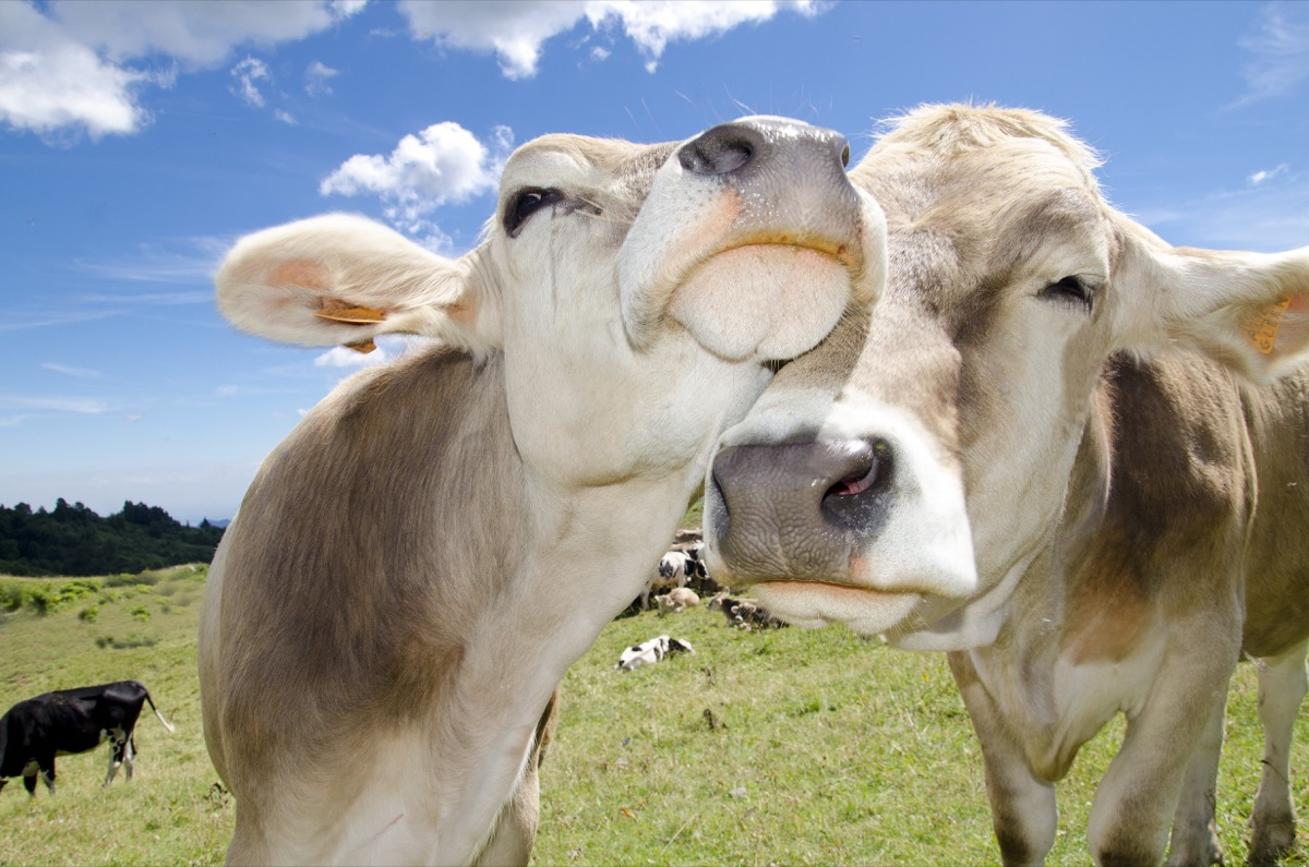swiss cows in love animals in love