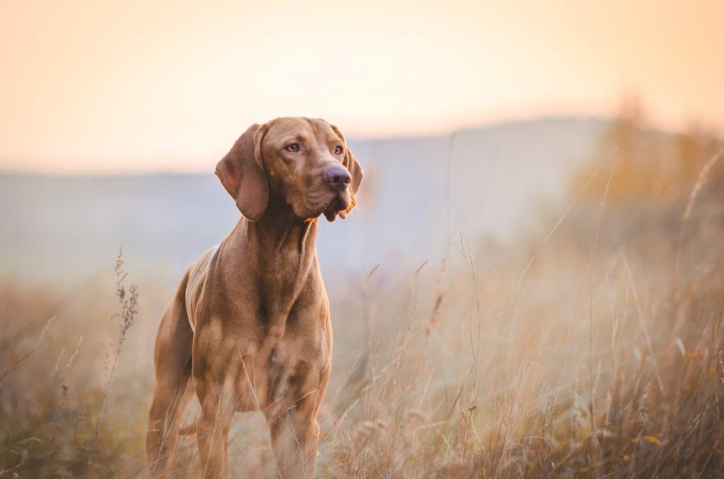vizla dog in sunset, top dog breeds