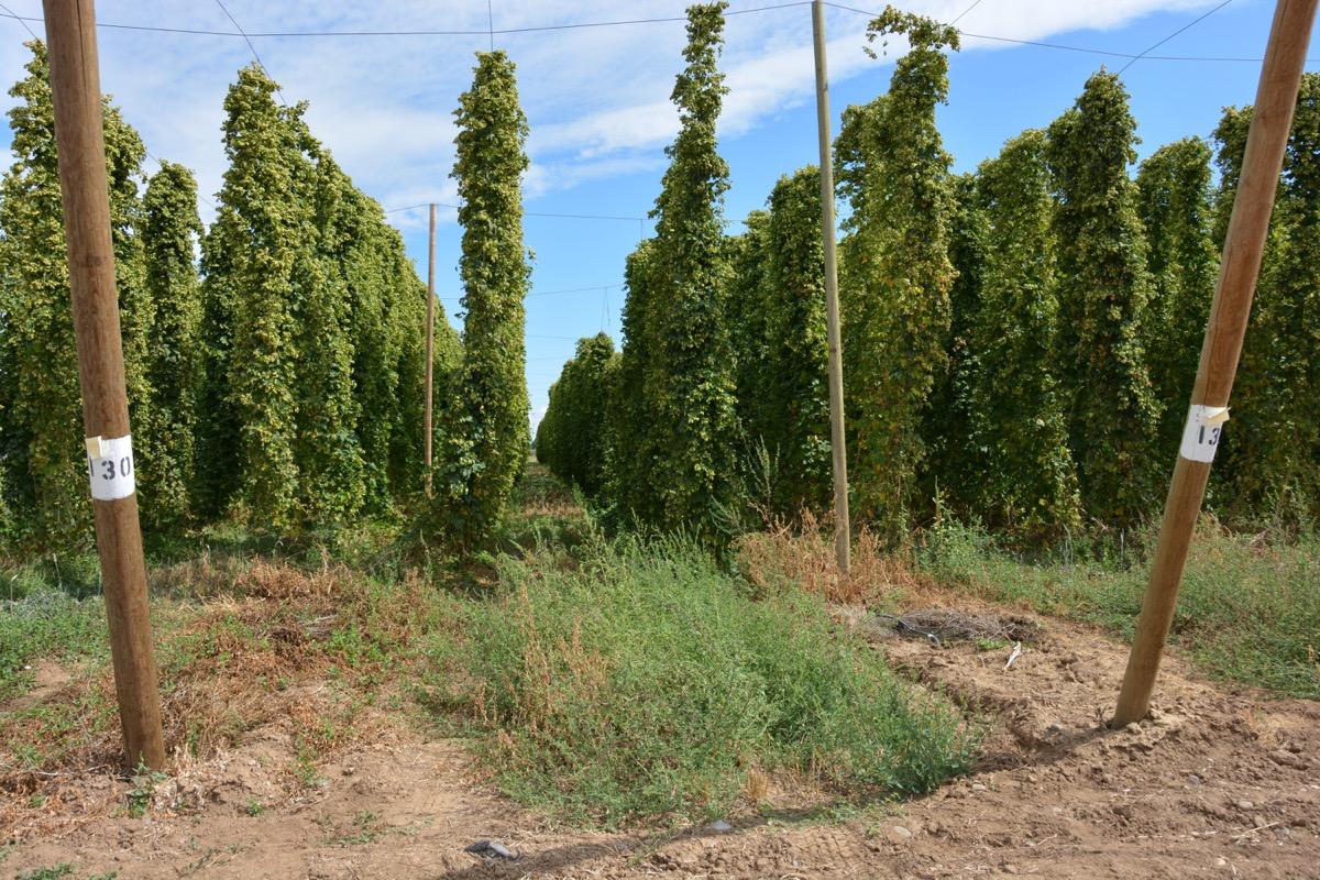 Hops vines Yakima Valley Washington