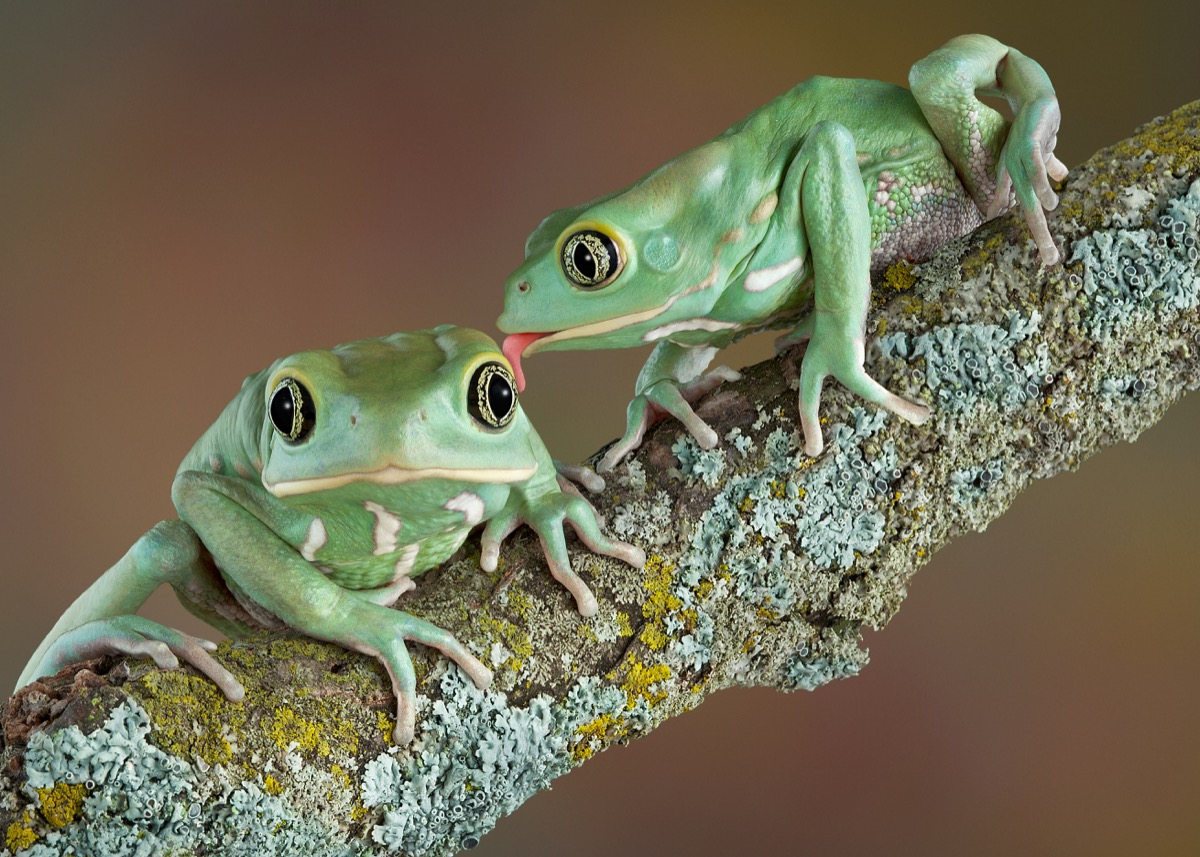 waxy tree frogs kissing animals in love
